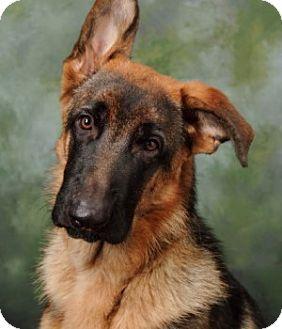 German Shepherd Dog Dog for adoption in Wayland, Massachusetts - Titan