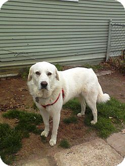 Great Pyrenees Mix Dog for adoption in Kyle, Texas - Scully