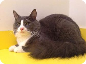 Domestic Mediumhair Cat for adoption in Brimfield, Massachusetts - Pixie