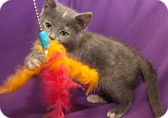 Domestic Shorthair Kitten for adoption in Marietta, Ohio - Cera
