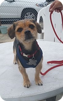 Yorkie, Yorkshire Terrier Mix Dog for adoption in Freeport, New York - Luna
