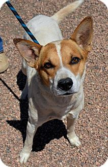 Cattle Dog Mix Dog for adoption in Aurora, Colorado - Bullet