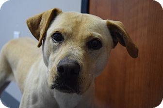 Labrador Retriever Mix Dog for adoption in Friendswood, Texas - Gunner