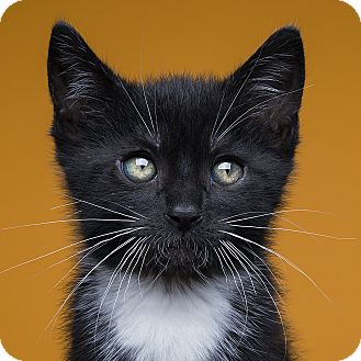 Domestic Shorthair Kitten for adoption in Royal Oak, Michigan - SEBASTIAN