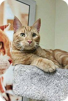 Domestic Shorthair Cat for adoption in Brooklyn, New York - Hero - ADOPTED!