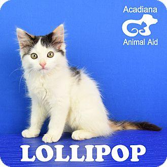 Domestic Mediumhair Cat for adoption in Carencro, Louisiana - Lollipop