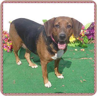 Coonhound Mix Dog for adoption in Marietta, Georgia - DAISY