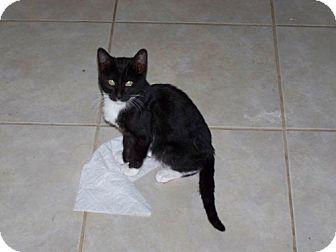Domestic Mediumhair Cat for adoption in Tallahassee, Florida - Vindaloo