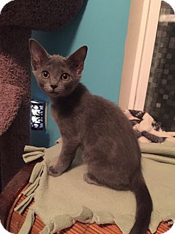 Russian Blue Kitten for adoption in Charlotte, North Carolina - A..  Sade