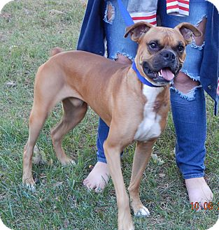 Boxer Dog for adoption in SUSSEX, New Jersey - Deimos(45 lb) Fun, Smart Boy!
