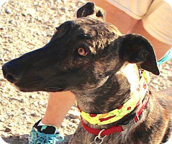 Greyhound Dog for adoption in Tucson, Arizona - Mack