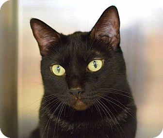 Domestic Shorthair Cat for adoption in Sierra Vista, Arizona - Gypsy