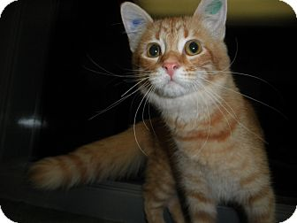 Domestic Longhair Kitten for adoption in Milwaukee, Wisconsin - June