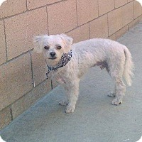 Poodle (Miniature) Dog for adoption in Fullerton, California - Lechy