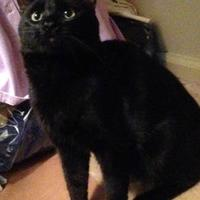 Domestic Shorthair/Domestic Shorthair Mix Cat for adoption in Anderson, Indiana - Elvis