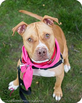 American Staffordshire Terrier Mix Dog for adoption in Grand Rapids, Michigan - Molly