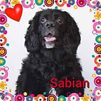 Adopt A Pet :: Sabian - Santa Barbara, CA