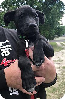 Labrador Retriever/Mixed Breed (Medium) Mix Puppy for adoption in Hayes, Virginia - Ralph