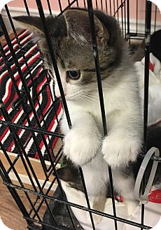 Domestic Shorthair Kitten for adoption in Loogootee, Indiana - Charlie