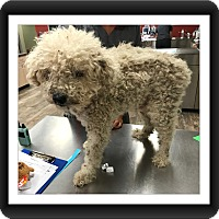 Adopt A Pet :: Gatsby - S. TX - Tulsa, OK