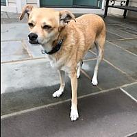 Adopt A Pet :: Chuggs - Rowayton, CT