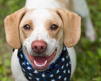 Beagle Mix Dog for adoption in Cincinnati, Ohio - Vinny