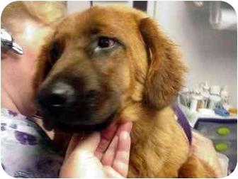Australian Shepherd/Chow Chow Mix Dog for adoption in Manassas, Virginia - Echo