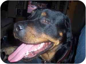 Rottweiler Dog for adoption in Hamilton, Ontario - Bronson