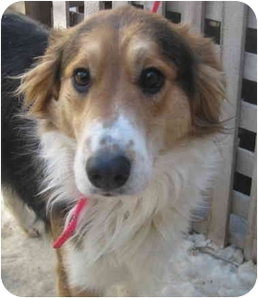 Australian Shepherd/Collie Mix Dog for adoption in Chicago, Illinois - Cassie(ADOPTED!)