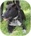 Australian Cattle Dog/Labrador Retriever Mix Puppy for adoption in Broomfield, Colorado - Licorice