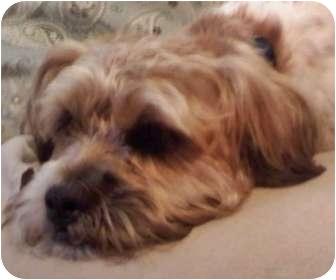 Lhasa Apso/Shih Tzu Mix Dog for adoption in Saint Clair Shores, Michigan - Buddy