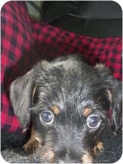 Cockapoo/Dachshund Mix Puppy for adoption in Carrollton, Georgia - Nero