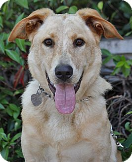 Labrador Retriever Mix Dog for adoption in Los Angeles, California - Hudson von McFarland