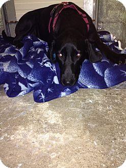 Greyhound/Labrador Retriever Mix Puppy for adoption in Elliot Lake, Ontario - Carmen