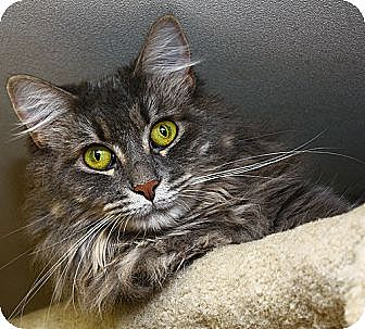 Domestic Longhair Cat for adoption in Lombard, Illinois - Gabby