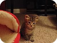 Domestic Shorthair Kitten for adoption in Tampa, Florida - Rosie