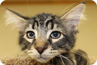 Maine Coon Kitten for adoption in Battle Creek, Michigan - Tigger