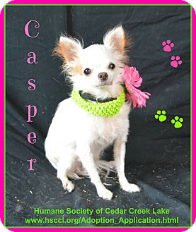 Chihuahua Dog for adoption in Plano, Texas - Casper