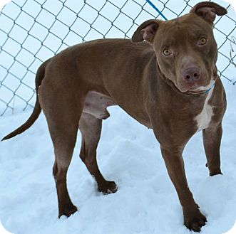 Pit Bull Terrier Mix Dog for adoption in Fruit Heights, Utah - Jetta