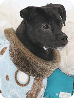 Terrier (Unknown Type, Small)/Chihuahua Mix Dog for adoption in Worcester, Massachusetts - Chloe - watch my video!