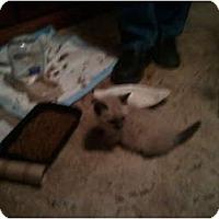 Adopt A Pet :: 3 Kittens - Hampton, CT