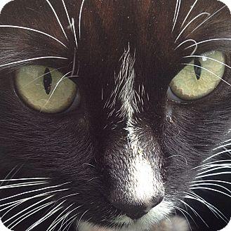 Domestic Shorthair Cat for adoption in Brooklyn, New York - Sweetpea
