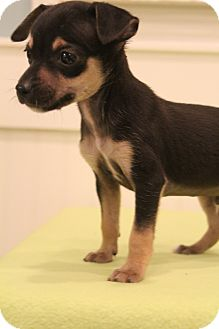 Chihuahua Mix Puppy for adoption in Bedminster, New Jersey - Primo