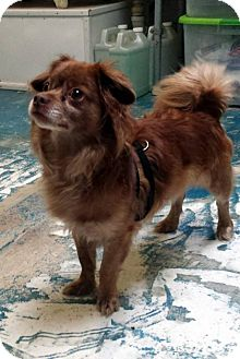 King Charles Spaniel/Chihuahua Mix Dog for adoption in Fennville, Michigan - Chester