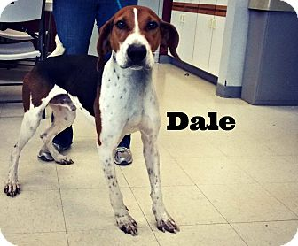 Treeing Walker Coonhound Mix Dog for adoption in Defiance, Ohio - Dale