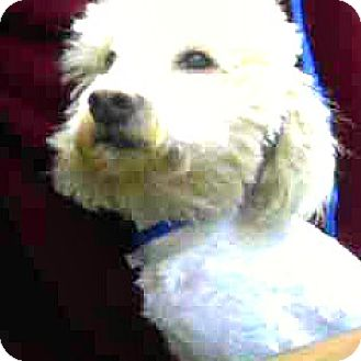 Schnauzer (Miniature)/Poodle (Miniature) Mix Dog for adoption in Boulder, Colorado - Rudy-ADOPTION PENDING