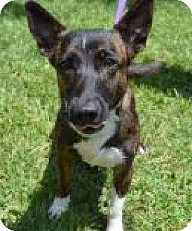 Jack Russell Terrier/Pembroke Welsh Corgi Mix Dog for adoption in Miami, Florida - Cori