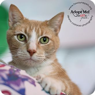 Domestic Shorthair Cat for adoption in Lyons, New York - Fred