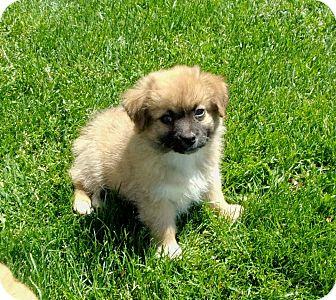Pomeranian/Chihuahua Mix Puppy for adoption in Liberty Center, Ohio - Julian