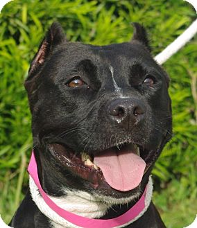 American Staffordshire Terrier Mix Dog for adoption in Daytona Beach, Florida - Roxy